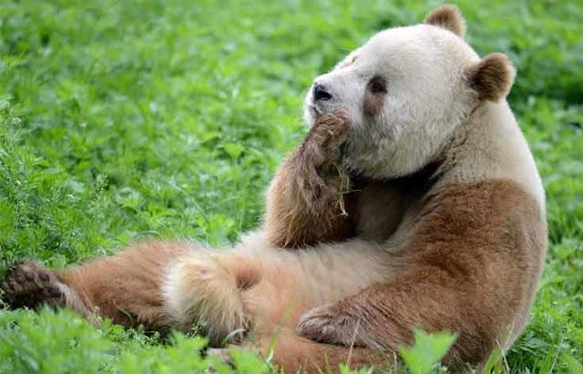 panda coklat