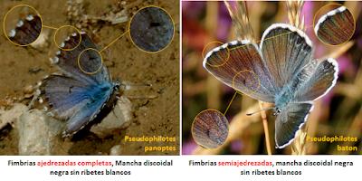 Anversos de Pseudophilotes baton y panoptes