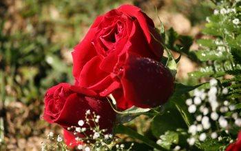 Wallpaper: Red Roses