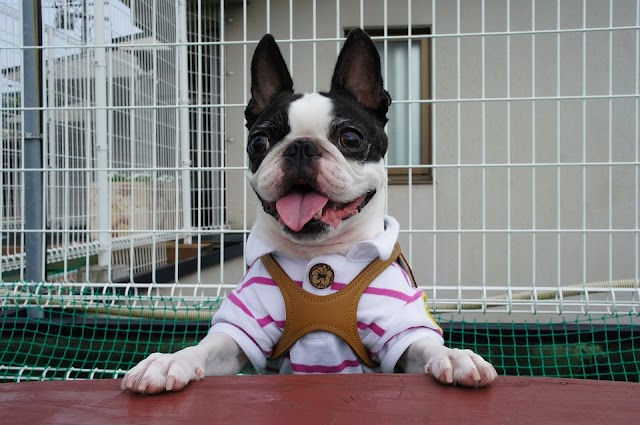 Finding Boston Terrier Dogs for Sale
