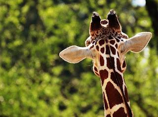 nvc-porozumienie-bez-przemocy-język-żyrafy