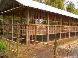 Manajemen Kandang Ayam Broiler