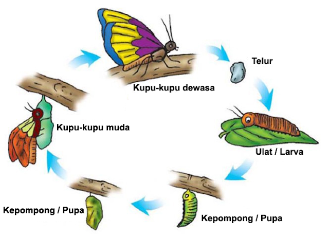video metamorfosis kupu kupu
