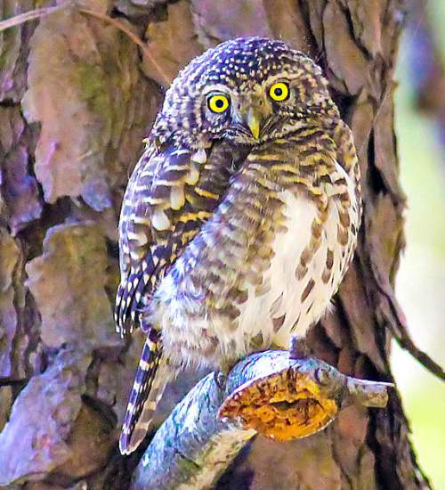 Indian birds - Image of Collared owlet - Glaucidium brodiei