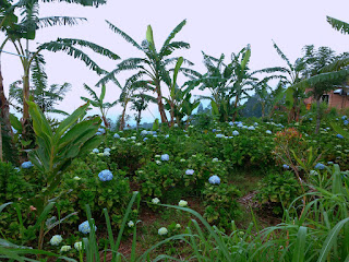 Flower Gardens In Mountainous Areas Hydrangea Macrophylla At Munduk Village North Bali