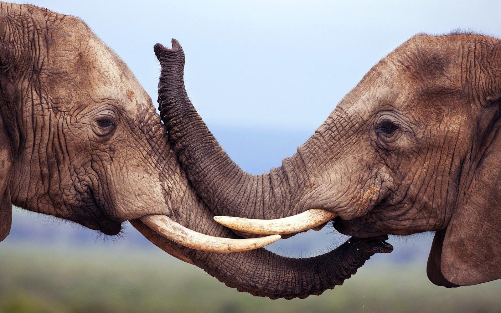 Elephant Couple In Love HD Wallpaper | Best Love HD Wallpapers