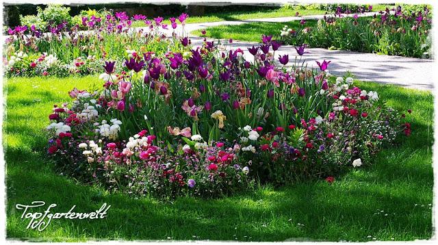 Gartenblog Topfgartenwelt Gartengestaltung: Kurpark Bad Ischl im Frühling Tulpen in lila und pink schweben über der restlichen Bepflanzung