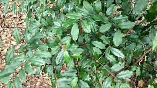 Ilex opaca (American holly) tree leaves new orleans louisiana