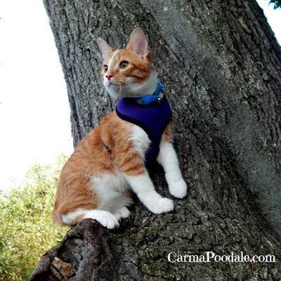 Orange kitten wearing purple harness sitting in tree