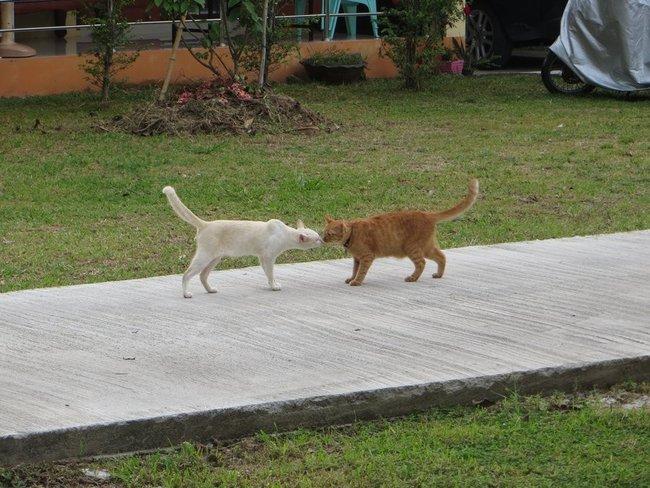 Рыжий кот целуется с белой кошкой