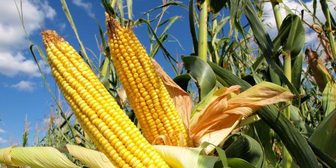 Penerapan Bioteknologi Di Bidang Pertanian Asal Usil
