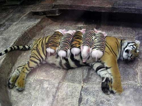 How Long Can Tigers Live Without Food