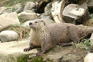 Loutre de rivière - Loutre du Canada - Lontra canadensis