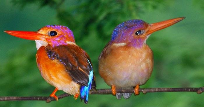 Daftar Burung Burung Yang Dilindungi Di Indonesia 2