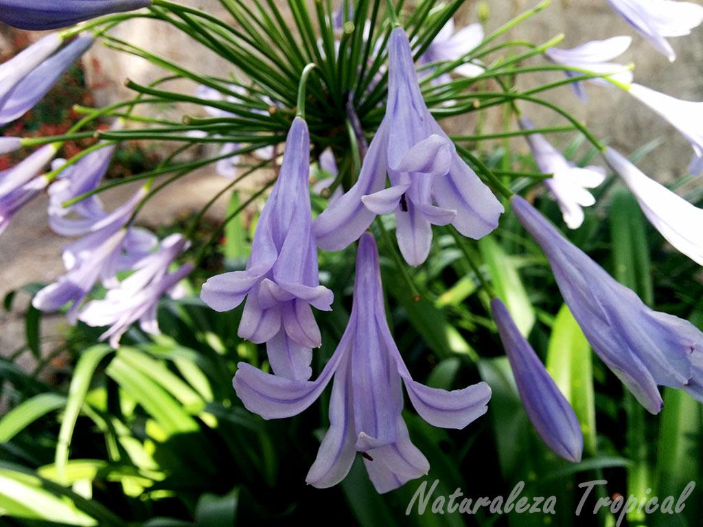 Naturaleza tropical 10 plantas bulbosas ideales para el for Raices ornamentales