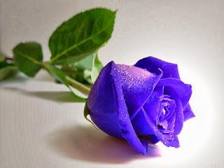 Gambar Bunga Mawar Biru Paling Cantik_Blue Roses Flower 200011