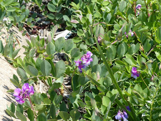 Gesse maritime - Pois de mer - Lathyrus japonicus - Lathyrus maritimus