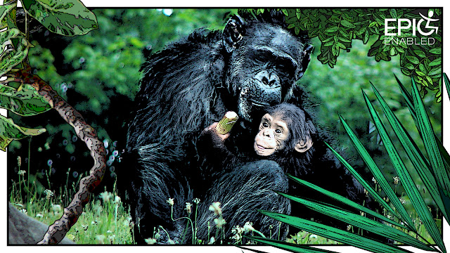 Two chimpanzees. Male chimpanzee sits, baby chimpanzee clings onto him.