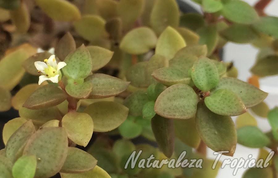 Hojas y flor típica de la planta suculenta Crassula volkensii