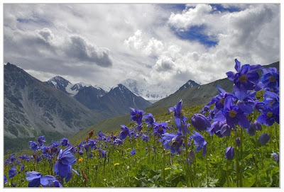 Himalayan Blue Poppy in flower in a mountain valley