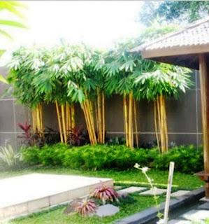 Bambu Kuning - bambu kuning bertuah, manfaat bambu kuning, bambu kuning untuk pagar, cara menanam bambu kuning, klasifikasi bambu kuning, bambu buta, harga bambu kuning, bambu kuning kaskus - 29 Jenis Tanaman yang Sering Dijadikan Penghias Taman - honaylandscape.blogspot.com
