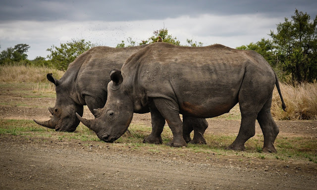Two Rhino on Gray Field Full HD Wallpaper Download