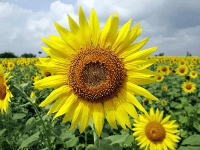 4 . Tanaman Bunga Matahari