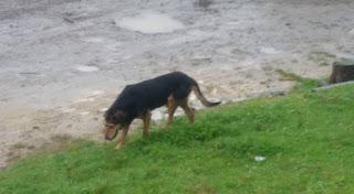 New Zealand Dog