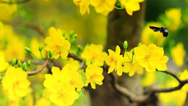 Bộ sưu tập hình nền hoa mai vàng cực đẹp