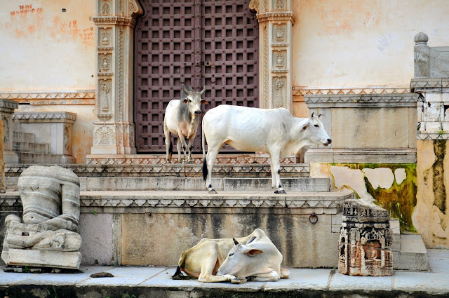 chittorgarh fort life rajasthan town heritage cows