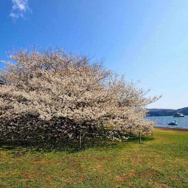 箱根園 大島桜