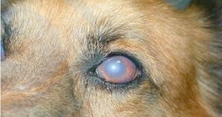 perro que presenta edema corneal y uveitis anterior a causa de virosis