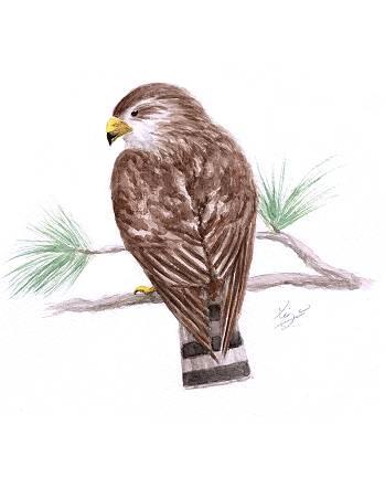 Hawk Watercolor Art