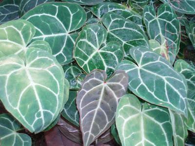 tanaman hias daun kuping gajah