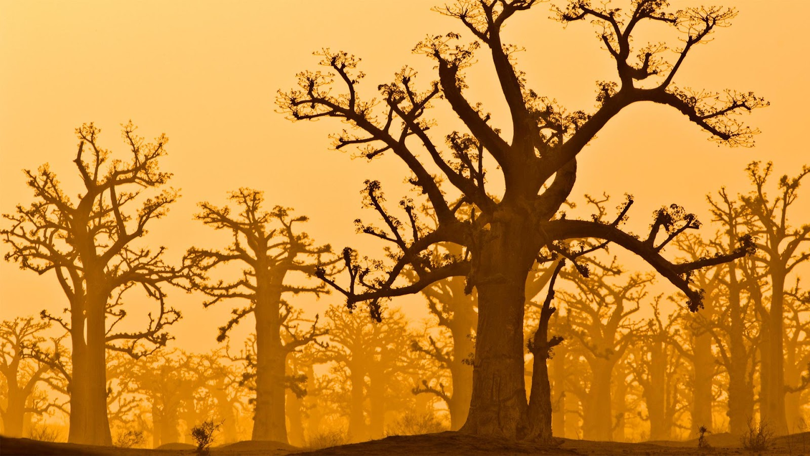 Baobab trees near Bandia Wildlife Reserve in Senegal © Frans Lanting/plainpicture