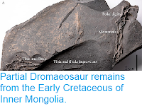 https://sciencythoughts.blogspot.com/2015/12/partial-dromaeosaur-remains-from-early.html