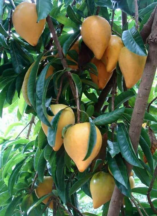 buah sawo mentega di pohon