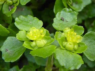 Golden Saxifrage (Chrysosplenium oppositifolium)