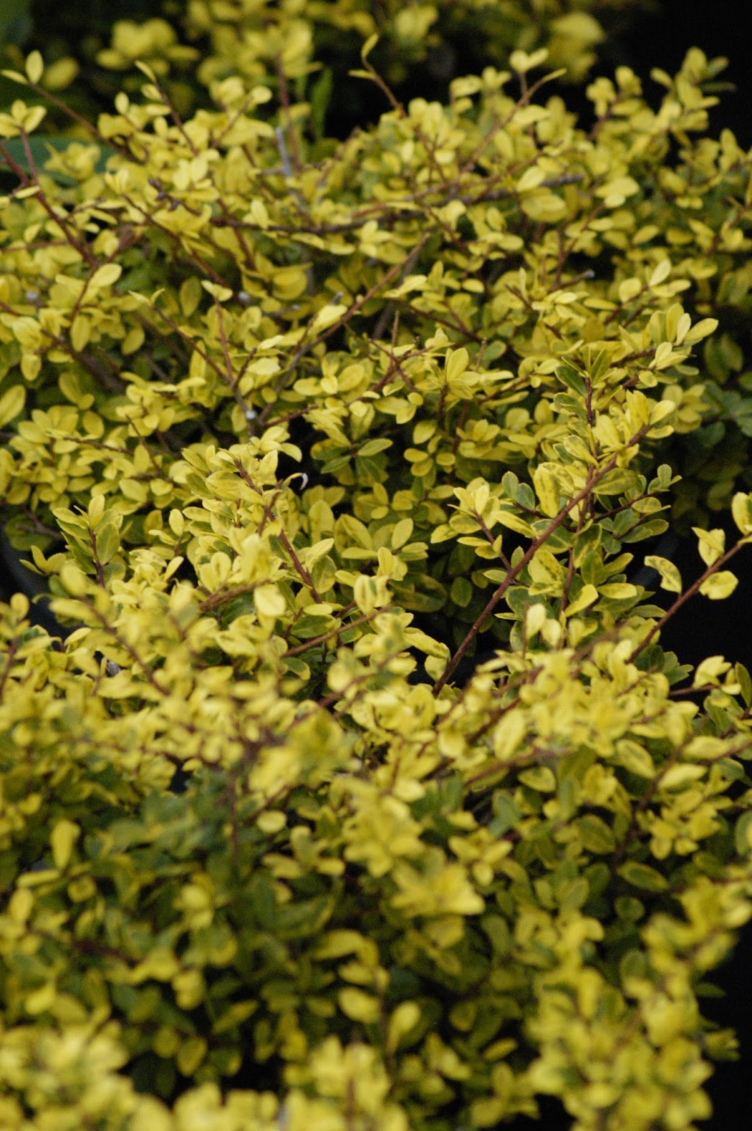 Ilex Crenata Golden Gem dwarf japanese holly – featuring new plants every day
