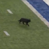 Cowboys-Giants game interrupted by black cat