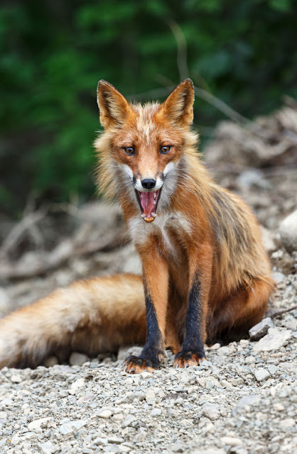 A wild Russian fox, Vulpes vulpes, on the Kamchatka Peninsula