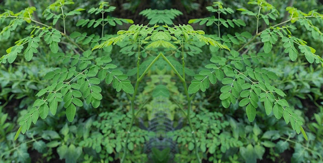 Benefits Of Drinking Moringa Every Day