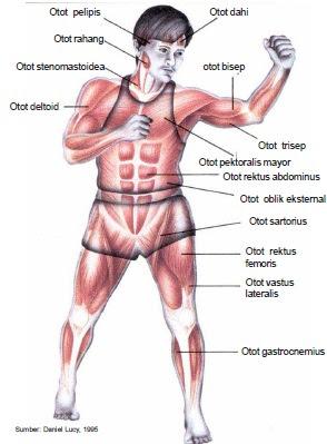 Gambar Otot Pada Manusia : gambar, manusia, Pengertian,, Fungsi,, Jenis-jenis, Mekanisme, Gerak, Manusia