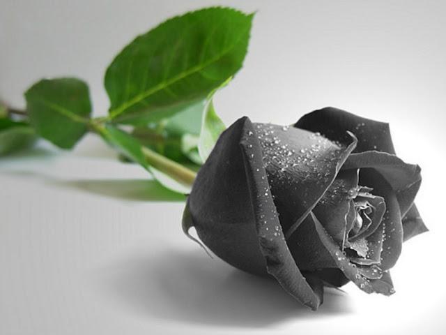 Beautiful Black Rose HD Wallpapers Images Download