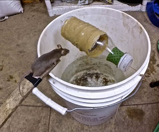 awesome quick rat trap using pvc