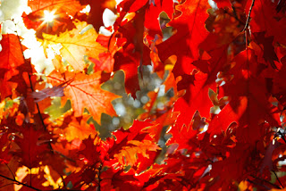 Photos of red autumn leaves