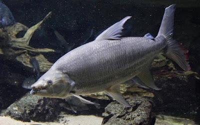 Goliath Tigerfish Si Harimau Dari Sungai Afrika