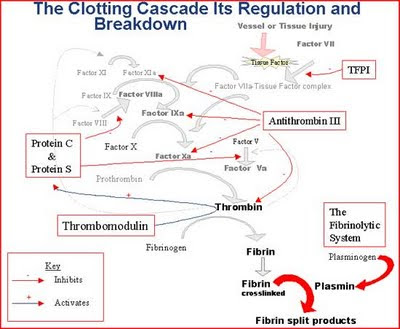blood clotting cascade