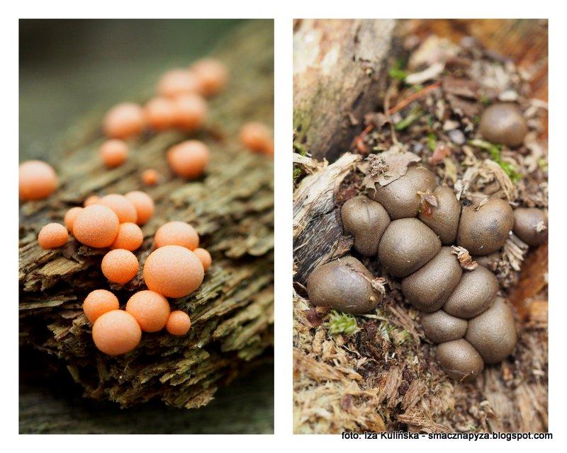 sluzowiec, sluzowce, las, na zmurszalym drewnie, rozowe kuleczki, jak cukierki