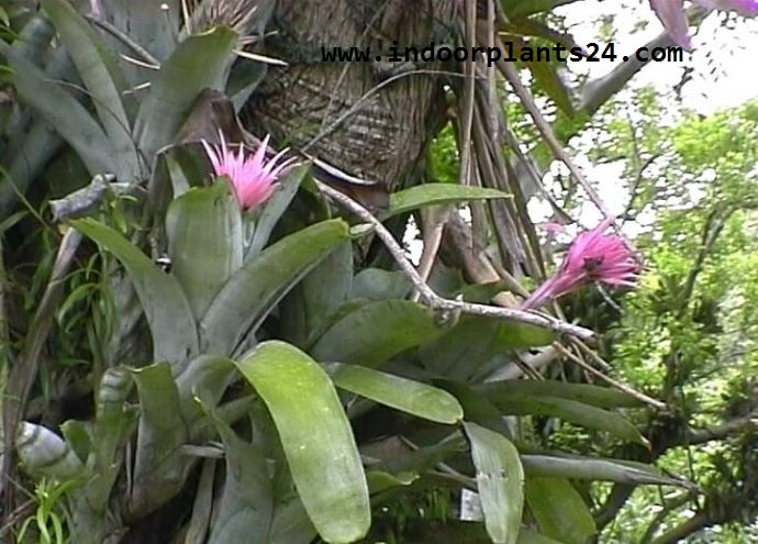 Indoor plant aechmea fasciata billbergia rhodocyanea for Aechmea fasciata